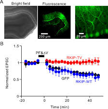 raf kinase inhibitory protein is required for cerebellar long term