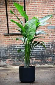 Plant Delivery Travelers Palm Bird Of Paradise U2013 Interior Foliage Design