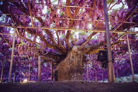 powerful of love under the wisteria in bloom pink