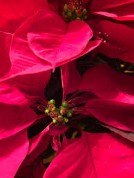 poinsettia hashtag on twitter