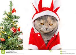 cat christmas sad christmas cat stock photo image of card apparel 62520010