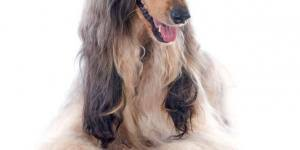 afghan hound vetstreet caring for a spanish water dog u0027s coat animalwised
