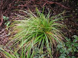 native hawaiian medicinal plants a native sedge for the garden hawaii horticulture