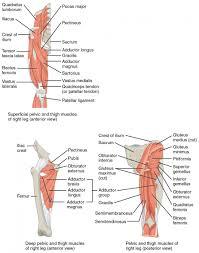 Anatomy And Physiology Glossary Muscle Anatomy Glossary Naming Skeletal Muscles Anatomy And