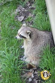 raccoon removal services in richmond hill by sos wildlife control