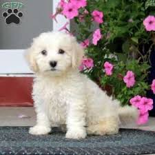 bichon frise in ohio bichon frise puppies for sale greenfield puppies