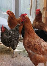 Backyard Chicken Blog tour de coop alicia in monument beach tilly u0027s nest