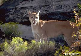 Utah wildlife images Cougars wild aware utah welcome to cougar country jpg