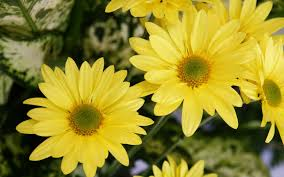 yellow color flowers wallpapers hd wallpapers