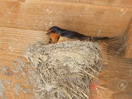 Barn Swallow Nest Pictures Barn Swallow Hirundo Rustica Sitting On Mud Nest Inside Barn