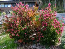 australian native plants pictures australian native hedges gardening with angus