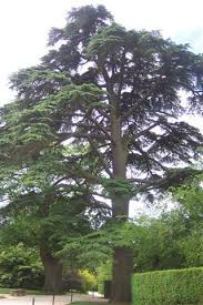 cedar tree pictures facts on cedar trees