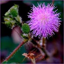 jeux cuisine bush mimosa pudica sensitive plant sleepy bush bonsai powder puff