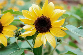 yellow flowers yellow flowers hd wallpapers pulse