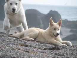 belgian sheepdog wolf mix white german shepherd wolf hybrid dog german shepherds