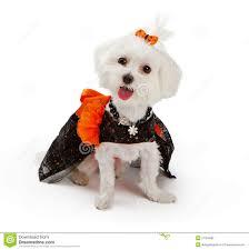 White Dog Halloween Costume Maltese Dog Wearing Halloween Costume Stock Photography Image