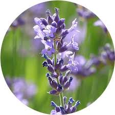 purple flowers 62 types of purple flowers proflowers