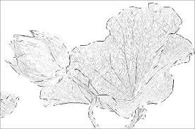 lotus flower sketch imgp0723 lotus flower and leaf phot u2026 flickr
