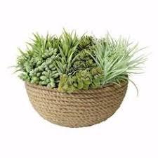 home depot black friday cicero plants u0026 flowers sansevieria cylindrica gardening