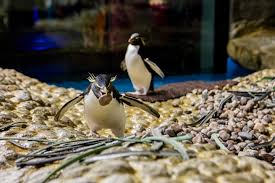 spring is the season of love penguin nesting and pairing begins