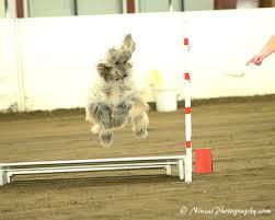 afghan hound agility events evergreen afghan hound club