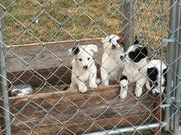 australian shepherd australian cattle dog mix view ad australian cattle dog mix puppy for sale washington