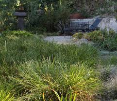 planting native grass seed hey california you can still have a lawn here are five water