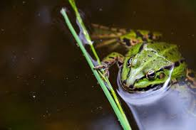 green frog free stock images by libreshot