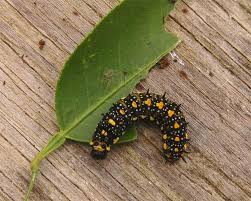 australian native plant identification the nature of robertson citrus caterpillars two types