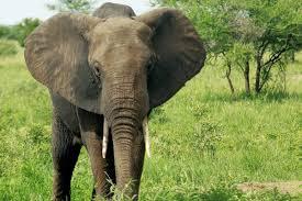 how good is an elephant u0027s memory howstuffworks