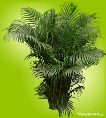 the graceful inexpensive areca palm houseplant needs bright light