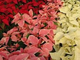 home depot live poinsettia sale on black friday deal on poinsettias at home depot and lowe u0027s