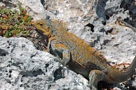 iguana island file cyclura rileyi rileyi san salvador rock iguana green cay