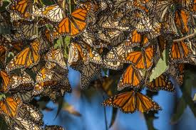 Monarch Migration Map Where To See The Monarch Butterflies In California