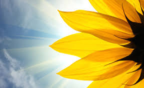 sunflower meaning flower meaning