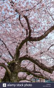 blossom trees pink cherry blossom trees along the pathway in spring japan stock