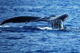 see more ceteceans humpback whale tour special jack u0027s diving