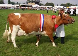 cow ribbon file ayrshire cow jpg wikimedia commons