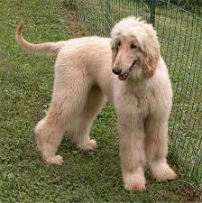 afghan hound do they shed 34 best if i owned a dog images on pinterest animals