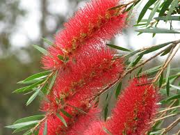 buy australian native plants drought tolerant plants with bottlebrush flowers mallee native