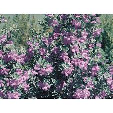shop 2 5 quart purple texas sage flowering shrub l3562 at lowes com