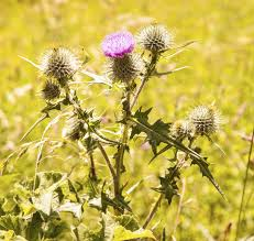 scotch thistle information how to control scotch thistle in lawns