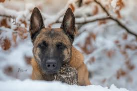 belgian shepherd special forces tiny owl adopts belgian shepherd and now they u0027re the best of
