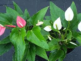 Fragrant Plants Florida - beautiful flowering shrubs u0026 bushes florida nursery mart