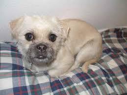 bichon frise dog pictures pushon pug x bichon frise mix dog info temperament puppies