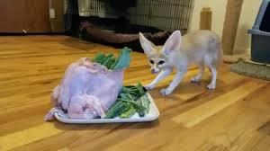 silly thanksgiving fennec fox feast