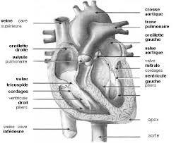chambre de chasse cardiopathies chez le terre neuve 2 3 terre neuve