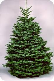 Pacific Northwest Christmas Tree Association - noble fir
