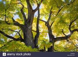 american elm tree fall foliage color broadmoor historic