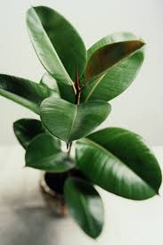 the 25 indoor plants you can u0027t kill rubber plant plants and